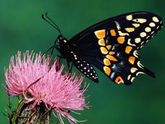 Пазлы онлайн. Картинка №5: Бабочка . Размер картинки: 640х480