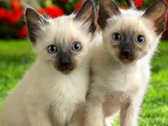 Пазлы онлайн. Картинка №102: Сиамские близнецы . Размер картинки: 640х480