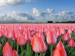 Пазлы онлайн. Картинка №130: Миллион алых тюльпанов . Размер картинки: 640х480