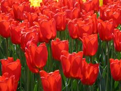 Пазлы онлайн. Картинка №158: Алые тюльпаны . Размер картинки: 640х480