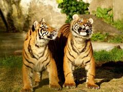 Пазлы онлайн. Картинка №175: Полосатая братия . Размер картинки: 640х480