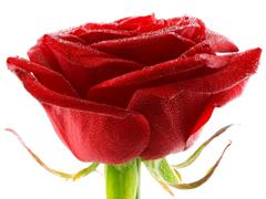 Пазлы онлайн. Картинка №194: Красный бутон . Размер картинки: 640х480