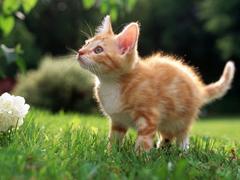 Пазлы онлайн. Картинка №21: Рыжий котенок . Размер картинки: 640х480