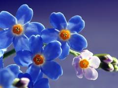 Пазлы онлайн. Картинка №214: Голубые ромашки . Размер картинки: 640х480