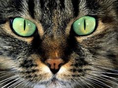 Пазлы онлайн. Картинка №221: Кошачий гипноз . Размер картинки: 640х480