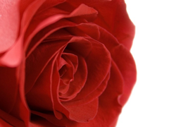 Пазлы онлайн. Картинка №222: Одинокая роза . Размер картинки: 640х480
