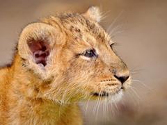 Пазлы онлайн. Картинка №245: Маленький лева . Размер картинки: 640х480