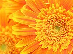 Пазлы онлайн. Картинка №274: Солнечные цветы . Размер картинки: 640х480