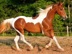 Пазлы онлайн. Картинка №319: Конь в яблоках . Размер картинки: 640х480