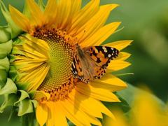 Пазлы онлайн. Картинка №330: Солнечная бабочка . Размер картинки: 640х480