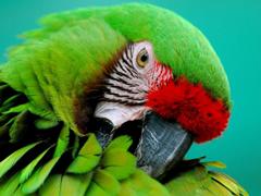 Пазлы онлайн. Картинка №375: Стеснительный попугай . Размер картинки: 640х480