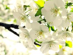 Пазлы онлайн. Картинка №377: Цветущее дерево . Размер картинки: 640х480