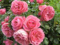 Пазлы онлайн. Картинка №411: Розовые кусты . Размер картинки: 640х480