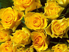 Пазлы онлайн. Картинка №42: Желтые розы . Размер картинки: 640х480