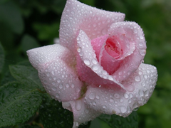 Пазлы онлайн. Картинка №439: Роза в росе . Размер картинки: 640х480