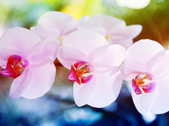 Пазлы онлайн. Картинка №480: Розовая архидея . Размер картинки: 640х480