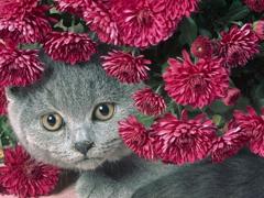 Пазлы онлайн. Картинка №487: Цветочный кот . Размер картинки: 640х480