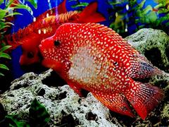 Пазлы онлайн. Картинка №50: Красная рыбка . Размер картинки: 640х480