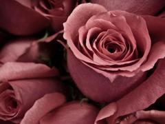 Пазлы онлайн. Картинка №508: Печальная роза . Размер картинки: 640х480