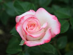 Пазлы онлайн. Картинка №523: Розовая каемочка . Размер картинки: 640х480