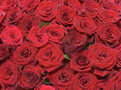Пазлы онлайн. Картинка №530: Миллион алых роз . Размер картинки: 640х480