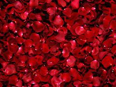 Пазлы онлайн. Картинка №536: Лепестки алых роз . Размер картинки: 640х480