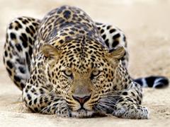 Пазлы онлайн. Картинка №55: Лео отдыхает . Размер картинки: 640х480