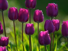 Пазлы онлайн. Картинка №569: Малиновые тюльпаны . Размер картинки: 640х480