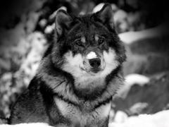 Пазлы онлайн. Картинка №57: Одинокий волк . Размер картинки: 640х480