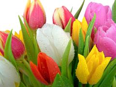 Пазлы онлайн. Картинка №572: Голландские тюльпаны . Размер картинки: 640х480