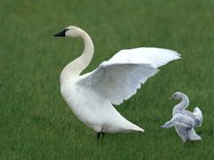 Пазлы онлайн. Картинка №633: Орлята учатся летать . Размер картинки: 640х480