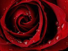Пазлы онлайн. Картинка №638: Темно-алая роза . Размер картинки: 640х480