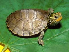 Пазлы онлайн. Картинка №641: Карликовая черепаха . Размер картинки: 640х480