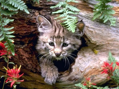 Пазлы онлайн. Картинка №72: Дикий кот . Размер картинки: 640х480