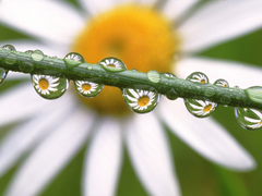 Пазлы онлайн. Картинка №737: Ромашковая роса . Размер картинки: 640х480