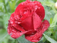 Пазлы онлайн. Картинка №746: Розовая роса . Размер картинки: 640х480