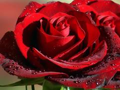 Пазлы онлайн. Картинка №754: Цветок любви . Размер картинки: 640х480