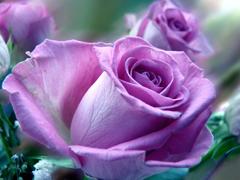Пазлы онлайн. Картинка №764: Живые розы . Размер картинки: 640х480
