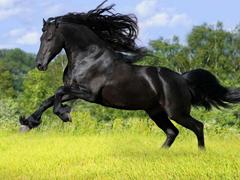 Пазлы онлайн. Картинка №781: Вороной конь . Размер картинки: 640х480