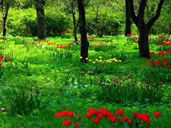 Пазлы онлайн. Картинка №807: Тюльпанная полянка . Размер картинки: 640х480