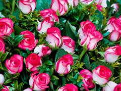 Пазлы онлайн. Картинка №958: Миллион алых роз . Размер картинки: 640х480