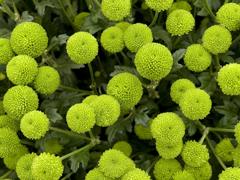 Пазлы онлайн. Картинка №138: Зеленные бутончики . Размер картинки: 640х480