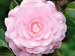 Пазлы онлайн. Картинка №172: Розовая роза . Размер картинки: 640х480