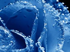 Пазлы онлайн. Картинка №176: Синяя роза . Размер картинки: 640х480
