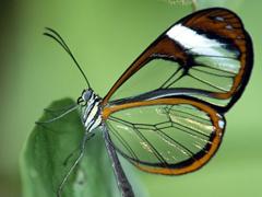 Пазлы онлайн. Картинка №189: Прозрачная бабочка . Размер картинки: 640х480