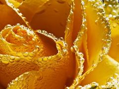 Пазлы онлайн. Картинка №204: Желтая роза . Размер картинки: 640х480