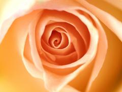 Пазлы онлайн. Картинка №242: Кремовая роза . Размер картинки: 640х480