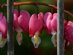 Пазлы онлайн. Картинка №246: Сердечные бутоны . Размер картинки: 640х480