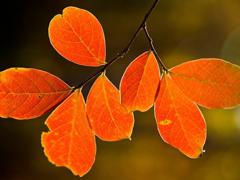 Пазлы онлайн. Картинка №257: Оранжевые листья . Размер картинки: 640х480