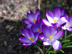 Пазлы онлайн. Картинка №289: Весенние цветы . Размер картинки: 640х480